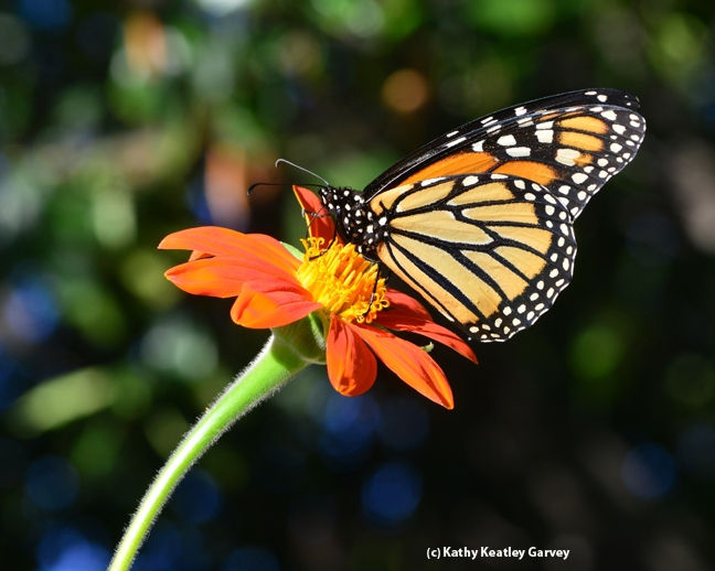 Monarch (Danaus plexippus) on Tithonia. (PHoto by Kathy Keatley Garvey
