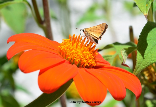 A skipper (family Hesperiidae) on Tithonia. (Photo by Kathy Keatley Garvey)