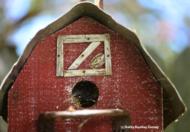 Can you find the ootheca or egg case of the praying mantis in this birdhouse photo? (Photo by Kathy Keatley Garvey)