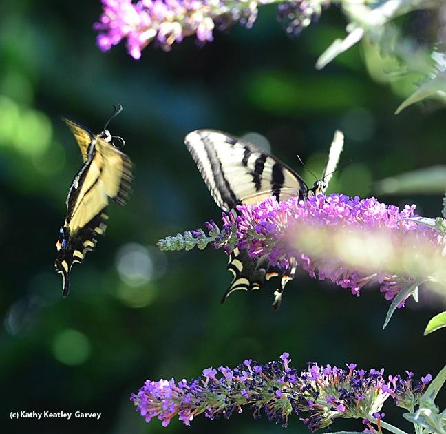 Mirror image! A Western tiger swallowtail spots a member of its species. (Photo by Kathy Keatley Garvey)