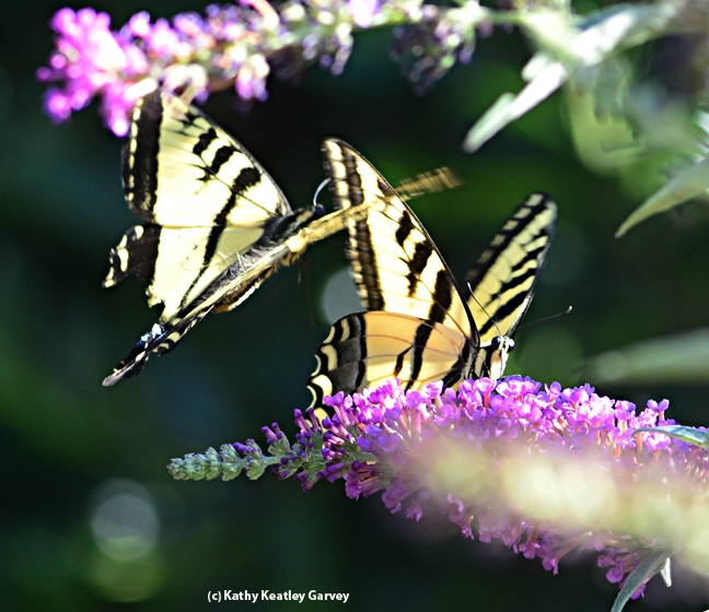 Well, hello there! A Western tiger swallowtail checks out another one. (Photo by Kathy Keatley Garvey)