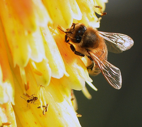 Honey Bee and an Ant