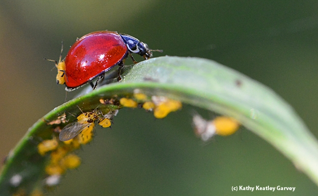 A lady beetle picks up a hitchhiker, an oleander aphid. (Photo by Kathy Keatley Garvey)