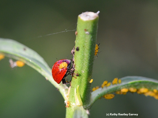 The oleander aphid maintains its hold on the back of its predator, a lady beetle. (Photo by Kathy Keatley Garvey)