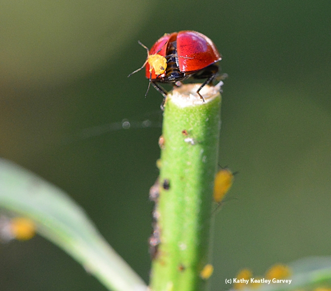 The lady beetle prepares for take-off, with the oleander aphid still clinging to its back. (Photo by Kathy Keatley Garvey)