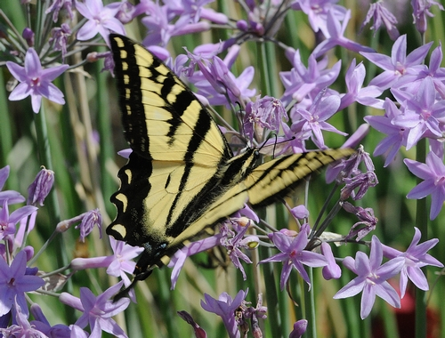 WESTERN TIGER SWALLOWTAIL (Papilio rutulus) forages among the flowers. (Photo by Kathy Keatley Garvey)