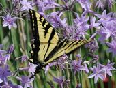 Westen Tiger Swallowtail