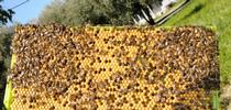 A frame from the Harry H. Laidlaw Jr. Honey Bee Research Facility, UC Davis. (Photo by Kathy Keatley Garvey) for Bug Squad Blog