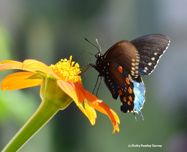 Pipeline swallowtail on Tithonia. (Photo by Kathy Keatley Garvey)
