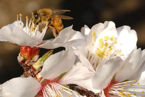 HONEY BEE nectaring an almond blossom in a photo taken Feb. 27, 2008. (Photo by Kathy Keatley Garvey)