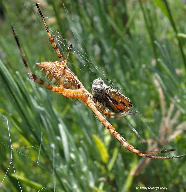 The banded garden spider (Argiope trifasciata) wraps its meal, a male fiery skipper (Hylephila phyleus). (Photo by Kathy Keatley Garvey)