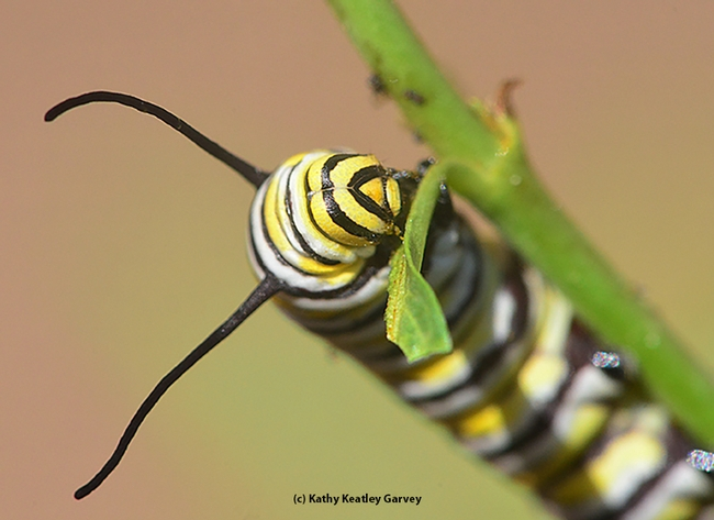 A monarch caterpillar chowing down milkweed. (Photo by Kathy Keatley Garvey)
