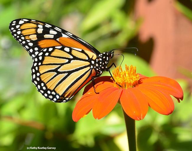 An adult monarch butterfly, Danaus plexippus. (Photo by Kathy Keatley Garvey)