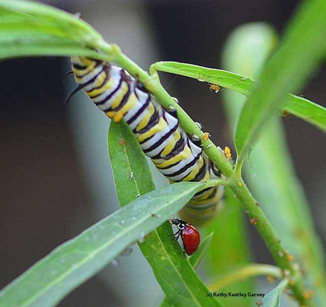 A lady beetle, a monarch caterpillar and an infestation of oleander aphids. (Photo by Kathy Keatley Garvey)
