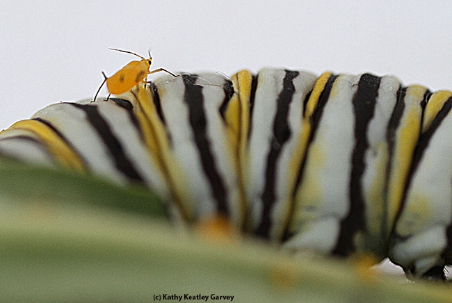An oleander aphid on the back of a monarch caterpillar. (Photo by Kathy Keatley Garvey)