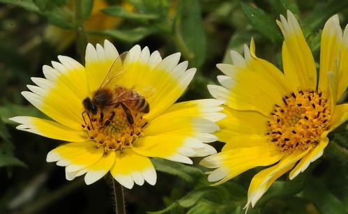 HONEY BEE nectaring on Tidy Tips, a native California wildflower. (Photo by Kathy Keatley Garvey)
