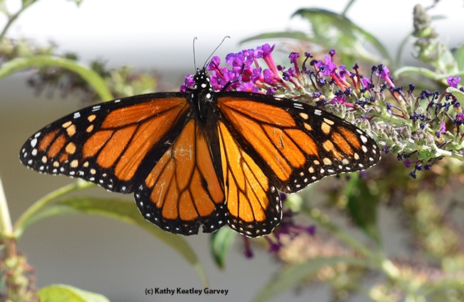 A Monarch nectaring on a butterfly bush. (Photo by Kathy Keatley Garvey)