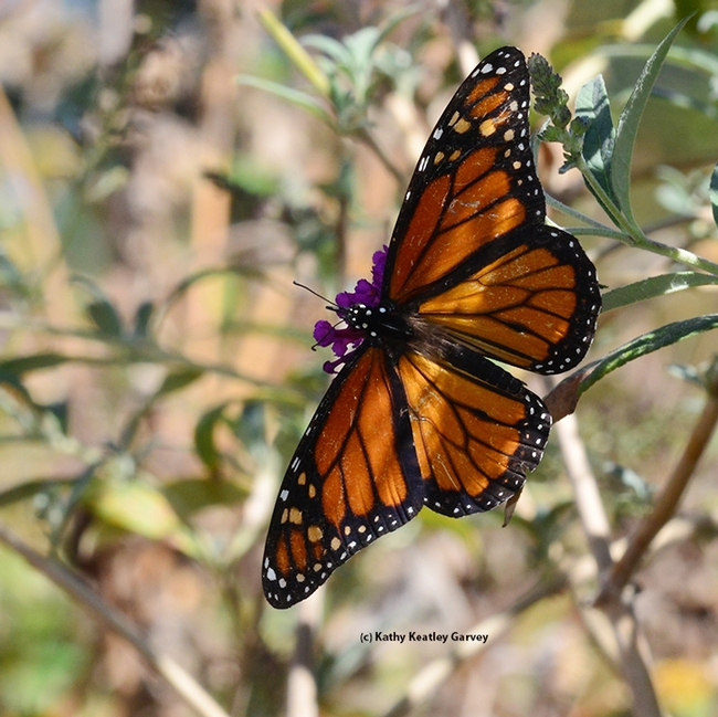 A Monarch soars, spreading its wings. (Photo by Kathy Keatley Garvey)