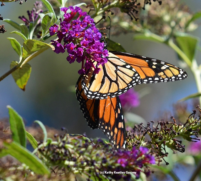 A Monarch showing its brilliant colors. (Photo by Kathy Keatley Garvey)