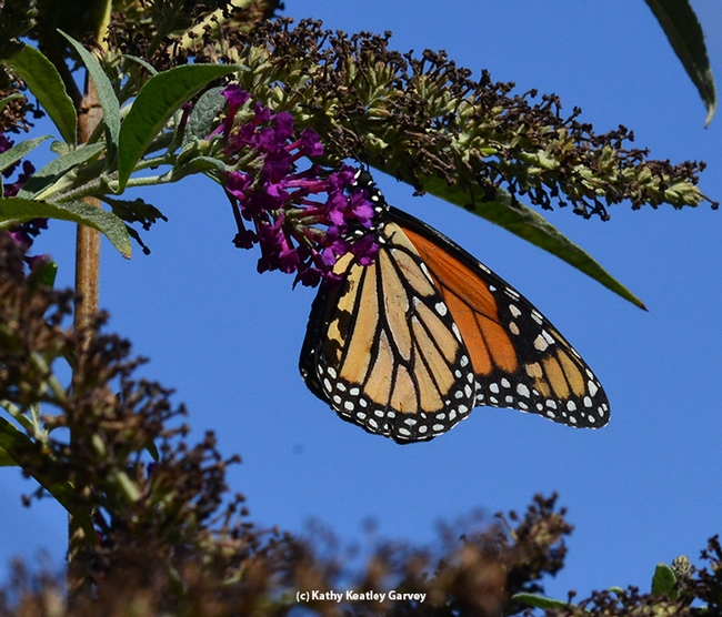 A Monarch, outlined against a blue sky, sips nectar from a butterfly bush. (Photo by Kathy Keatley Garvey)