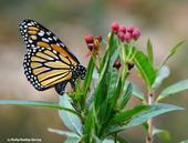 A monarch laying an egg on her host plant, milkweed. (Photo by Kathy Keatley Garvey)
