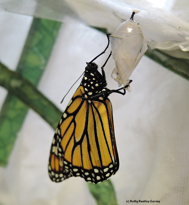 Voila! A monarch butterfly has just eclosed. (Photo by Kathy Keatley Garvey)