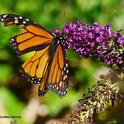 Monarch butterfly showing signs of a predator encounter. (Photo by Kathy Keatley Garvey)