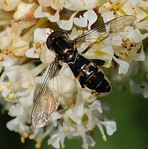 WINGS GLITTERING in the sun, a syrphid fly lands on a white ceanothus blossom. (Photo by Kathy Keatley Garvey)