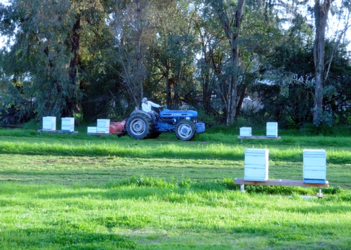 BEE BREEDER-GENETICIST Kim Fondrk mows the lush grass at the Harry H. Laidlaw Jr. Honey Bee Research Facility. (Photo by Kathy Keatley Garvey)