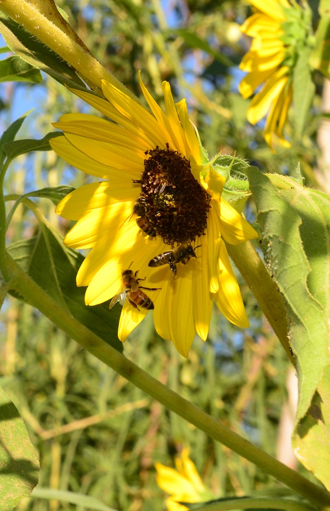 Two bees on a sunflower. Bees from the nearby Harry H. Laidlaw Jr. Honey Bee Research Center frequent the garden. (Photo by Kathy Keatley Garvey)