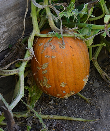 Pumpkins are among the plants in the haven. (Photo by Kathy Keatley Garvey)