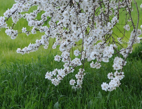 Lovely almond blossoms