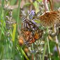 Two Gulf Fritillaries doing what comes naturally. (Photo by Kathy Keatley Garvey)