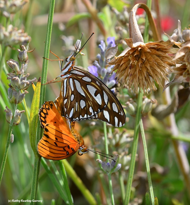 A butterfly passing by prompted this Gulf Frit male to react, by opening its wings.. (Photo by Kathy Keatley Garvey)