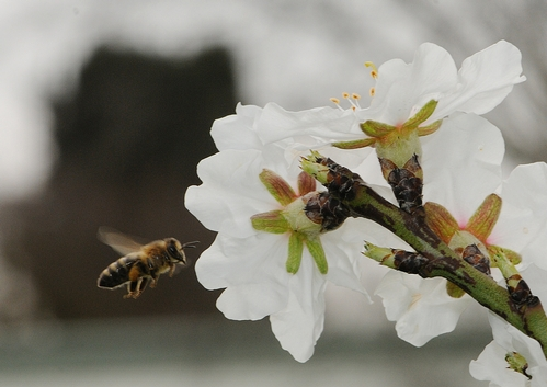 HONING IN, a honey bee heads for the sweet nectar of an almond blossom. (Photo by Kathy Keatley Garvey)