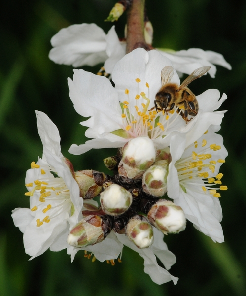 A HONEY BEE forages among the buds 'n blossoms of an almond tree. (Photo by Kathy Keatley Garvey)