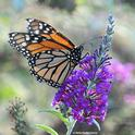 A monarch butterfly nectaring on a butterfly bush in Vacaville, Calif. today (Oct. 10). (Photo by Kathy Keatley Garvey)