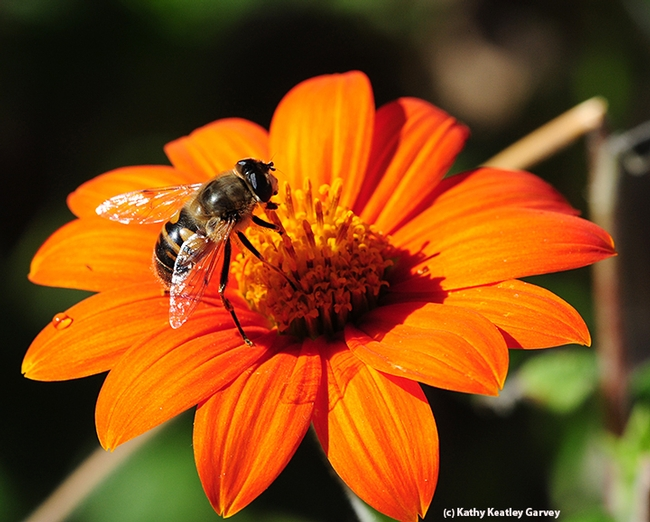 A drone fly, Eristalis tenax, foraging on a Mexican sunflower (Tithonia). (Photo by Kathy Keatley Garvey)