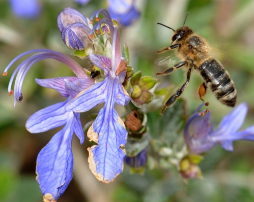 HONEY BEE heads for a Teucrium frutican