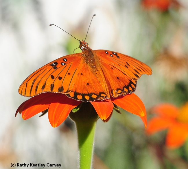 Like a flamenco dancer, the Gulf Fritillary is showy. Here it is on a Mexican sunflower (Tithonia). (Photo by Kathy Keatley Garvey)