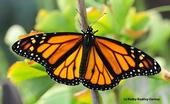 A newly released (Oct. 23) male monarch butterfly lands on a ginkgo tree. (Photo by Kathy Keatley Garvey)