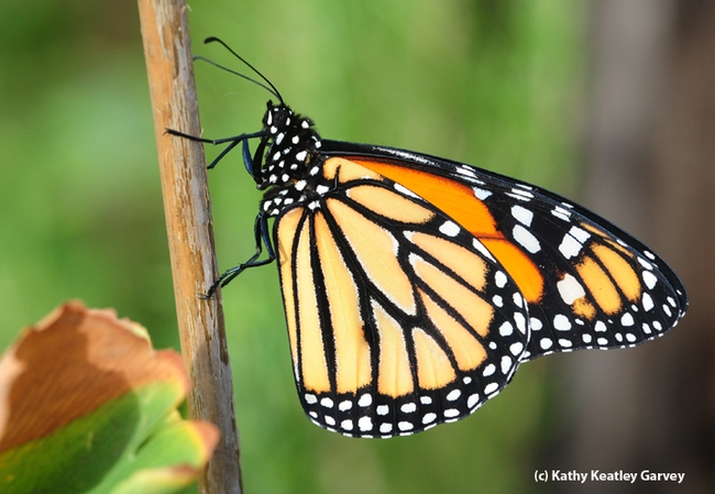 Male monarch soaks up sunshine. (Photo by Kathy Keatley Garvey)