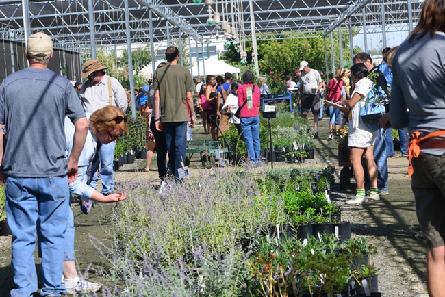 This was the scene at a recent UC Davis Arboretum Plant Sale. (Photo by Kathy Keatley Garvey)