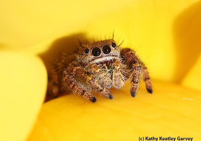 A jumping spider peers out between the petals of a yellow rose. (Photo by Kathy Keatley Garvey)