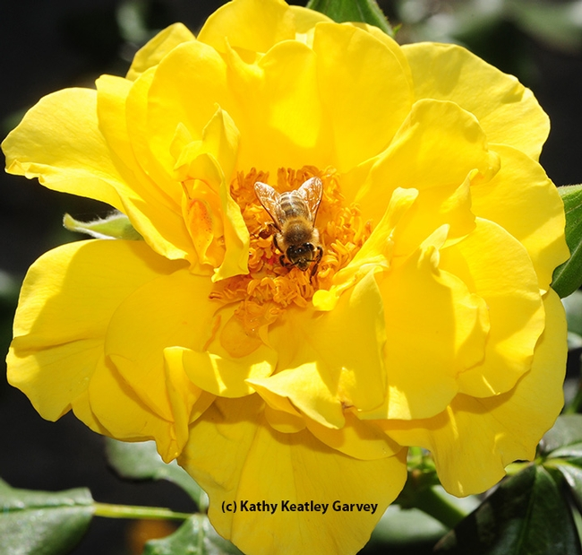 A honey bee forages on a yellow rose. (Photo by Kathy Keatley Garvey)