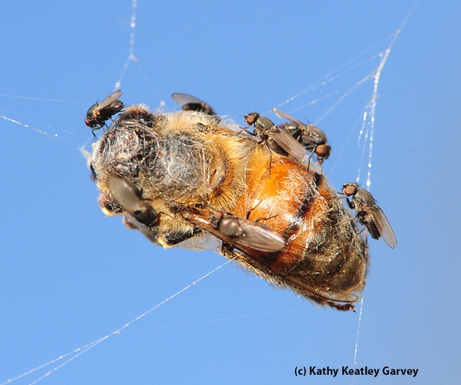 Freeloader flies, from family Milichiidae, crowd the carcass of a honey bee trapped in a web. (Photo by Kathy Keatley Garvey)