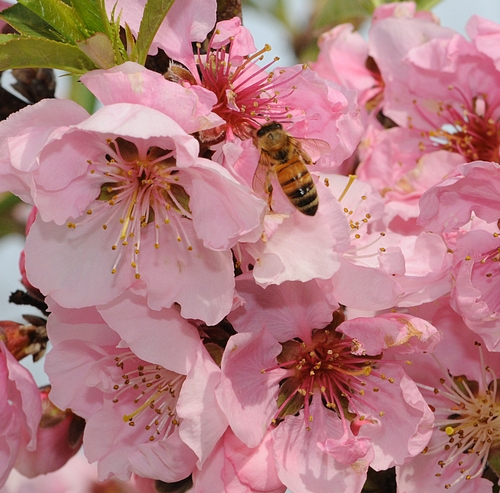 HONEY BEE nectaring nectarine blossoms. (Photo by Kathy Keatley Garvey)