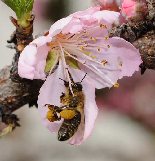 POLLEN-PACKING honey bee in a nectarine blossom. (Photo by Kathy Keatley Garvey)