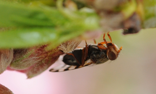 Upside down, a picture-winged fly (Ceroxys latiusculus) on a nectarine tree. (Photo by Kathy Keatley Garvey)