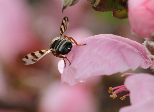 Ready for take-off, a picture-winged fly steadies its wings. (Photo by Kathy Keatley Garvey)